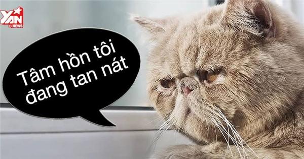 Cười nắc nẻ với nỗi lòng của chú mèo đỏng đảnh