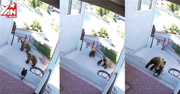 Chó cưng rượt gấu chạy té khói vì dám xông vào nhà chủ