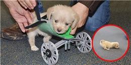 Cộng đồng mạng xúc động trước nỗ-lực-tập-đi-của bé cún chỉ có 2 chân sau