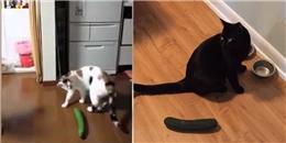 Có phải dưa chuột thật sự đáng sợ khiến loài mèo khiếp vía?