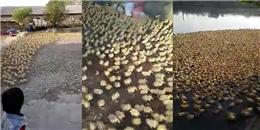 Chóng mặt chứng kiến 5 nghìn con vịt  tràn  xuống ao