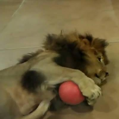 Cười ngất với màn chơi bóng của những chú sư tử lười biếng