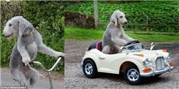 Dân mạng 'phát cuồng' với chú chó lái xe đạp, lướt xe hơi 'thần sầu'