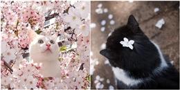 Khi mèo và hoa anh đào