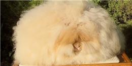 Chú thỏ lập kỉ lục có bộ lông xù nhất thế giới