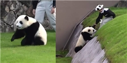 Chú gấu trúc cố gắng 'đào tẩu' khiến người xem cười ngất