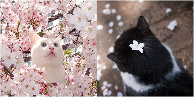"""Khi mèo và hoa anh đào """"song kiếm hợp bích"""" đốn tim cư dân mạng"""