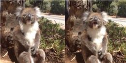Buồn cười trước chú gấu koala khóc nức nở vì bị bạn đạp ngã