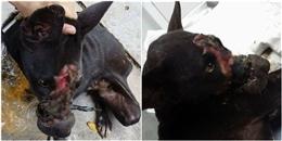 Hành trình khó khăn tìm kiếm và cứu chữa chú chó bị hoại tử mõm