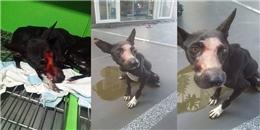 Cảm phục nghị lực sống mãnh liệt của chú chó bị hoại tử mõm