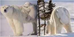 Gấu Bắc cực con 'bám mông' mẹ siêu đáng yêu khiến tim bạn tan chảy