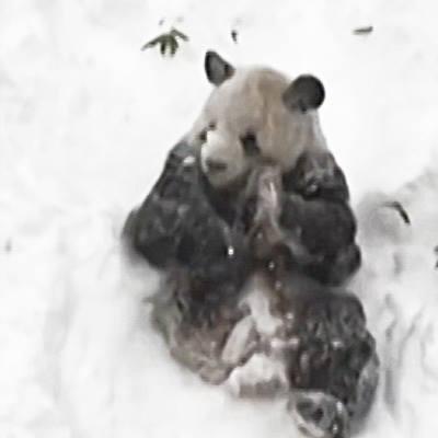 Phát hiện gấu trúc  phát cuồng  mỗi khi gặp tuyết siêu dễ thương