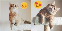 Chú mèo nhan sắc mĩ miều với đôi chân ngắn khiến bao người mơ ước