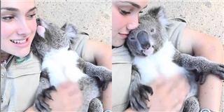 Phát cuồng  chú gấu koala  làm nũng  với gái xinh