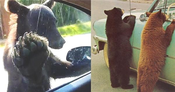 Hết hồn cảnh gấu chặn xe giữa đường...xin ăn