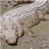 Bơi đêm sát ổ cá sấu, cô gái gặp kết cục bi thảm