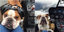 'Phát hờn' với cuộc sống sang chảnh của chú chó Bulldog