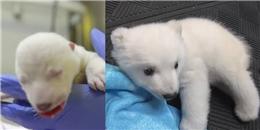 Cận cảnh vẻ dễ thương 'phát hờn' của chú gấu Bắc Cực 83 ngày tuổi