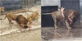 Kinh hoàng chàng trai trẻ không-mặc-gì nhảy vào chuồng sư tử tự vẫn