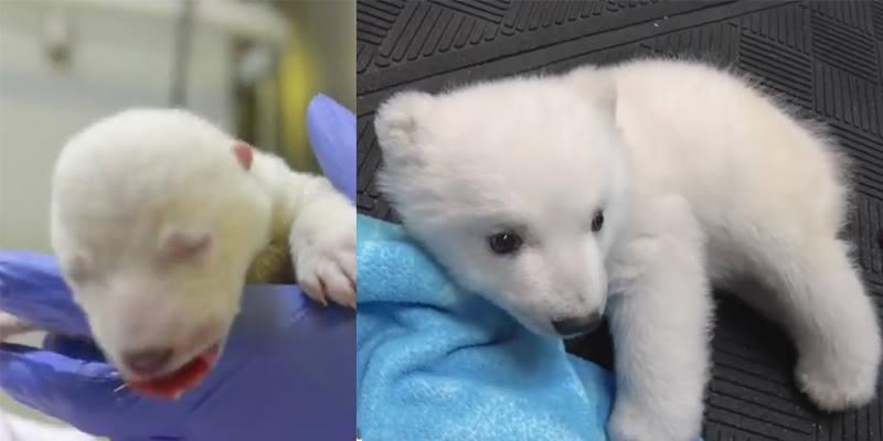 """Cận cảnh vẻ dễ thương """"phát hờn"""" của chú gấu Bắc Cực 83 ngày tuổi"""
