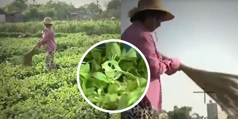 Sốc: Quét rau rách cho giống sâu ăn, đánh lừa người tiêu dùng