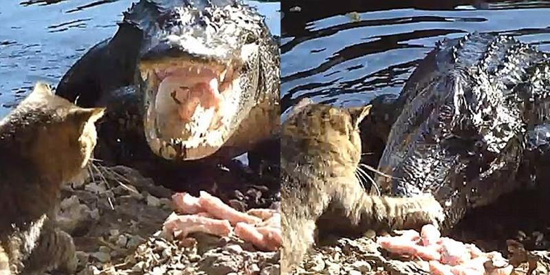 """Đây là chú mèo """"bà nội"""" cá sấu """"hot"""" nhất mạng xã hội tuần qua"""