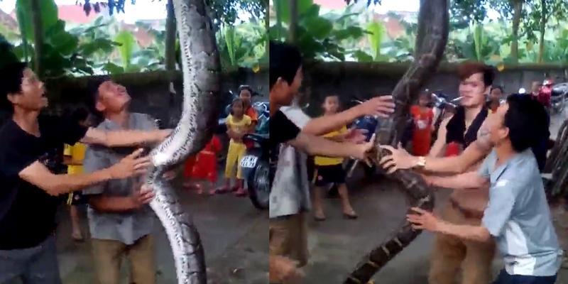"""Bắt được """"trăn thần"""" dài 5m, nặng 37kg tại Nghệ An"""