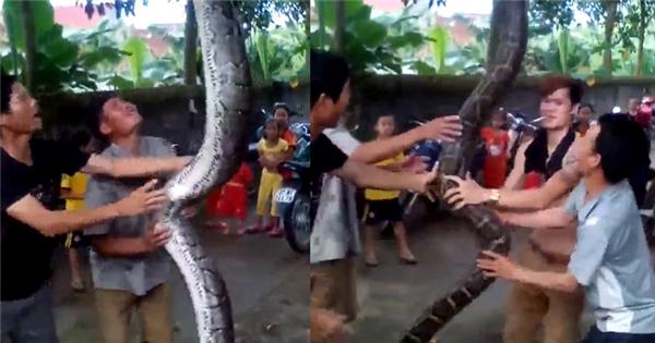 Bắt được 'trăn thần' dài 5m, nặng 37kg tại Nghệ An