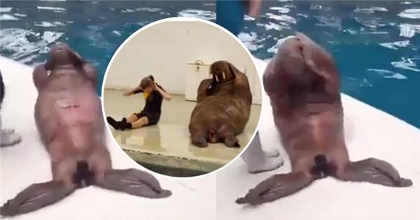 Đến hải cẩu và sư tử biển cũng muốn... 'tập gym giữ dáng'