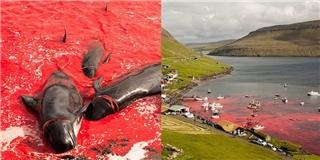 Rùng mình với lễ hội thảm sát cá voi đẫm máu ở Đan Mạch