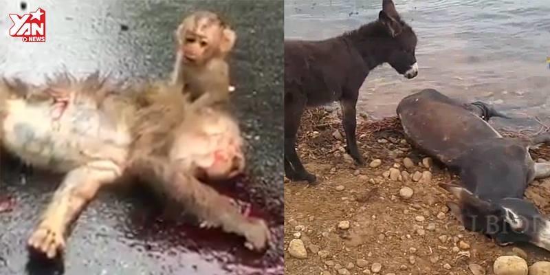 Khi động vật cũng rơi nước mắt tiếc thương đồng loại