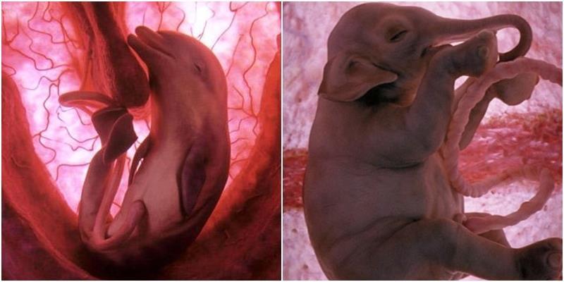 Những hình ảnh gây ấn tượng về bào thai của động vật