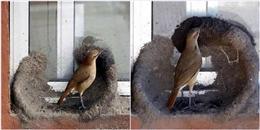 Cận cảnh 'công trình tổ ấm' do 'kiến trúc sư chim' tự tay xây dựng