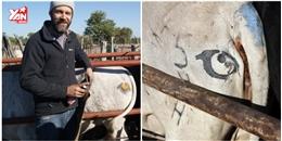 Vì sao những chú bò châu Phi đều mang hình đôi mắt trên mông?