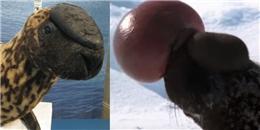 Lạ lùng loài hải cẩu lông đốm thổi phình đầu khi nổi giận
