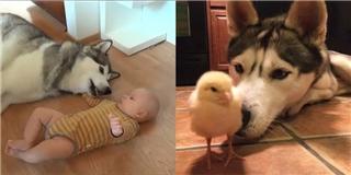Những khoảnh khắc của chó Husky khiến dân mạng  tan chảy