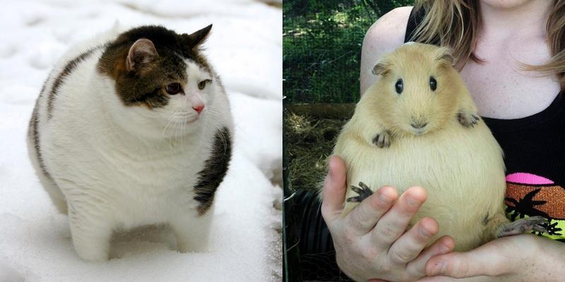 Những loài vật béo đến nỗi chúng sắp lăn đến nơi