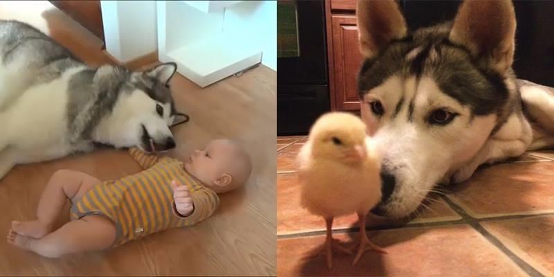 """Những khoảnh khắc của chó Husky khiến dân mạng """"tan chảy"""""""