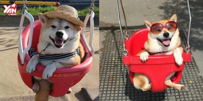 """Được đi công viên, chú chó Shiba """"hớn không ai bằng"""""""