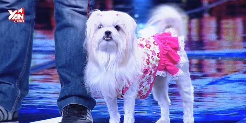 Đây là chú chó đã khiến cả BGK phát cuồng suốt tuần qua