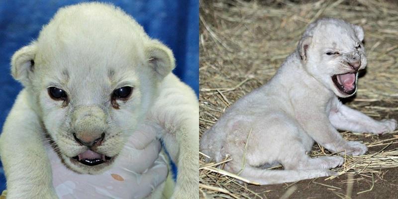 """Kì lạ: Sư tử trắng cực hiếm """"trăm năm có một"""" vừa mới ra đời ở Mỹ"""