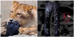 Sốt xình xịch ý tưởng 'sư tử xé quần để có vết rách tự nhiên' ở Nhật