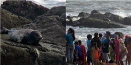 Không thể tin nổi hải cẩu xứ lạnh lại... đi lạc đến biển Bình Thuận