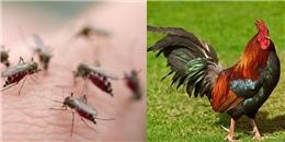 Gà không chỉ cho trứng, thịt, mà còn là 'dũng sĩ diệt muỗi' trong nhà?