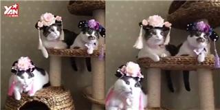 Cười đau bụng với dàn  cách cách  phiên bản mèo