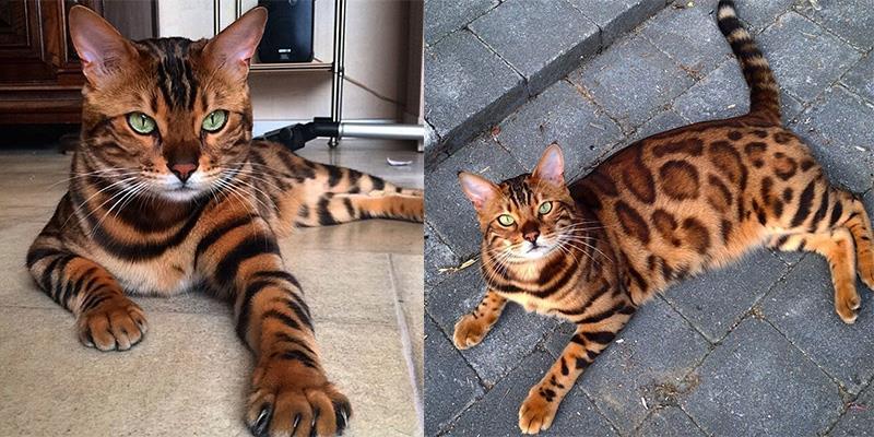 """Kinh ngạc trước chú mèo nhà """"đội lốt"""" báo Bengal cực hầm hố"""