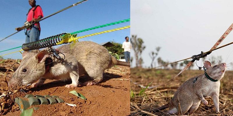 Cảm động những chú chuột khổng lồ gỡ mìn cứu dân
