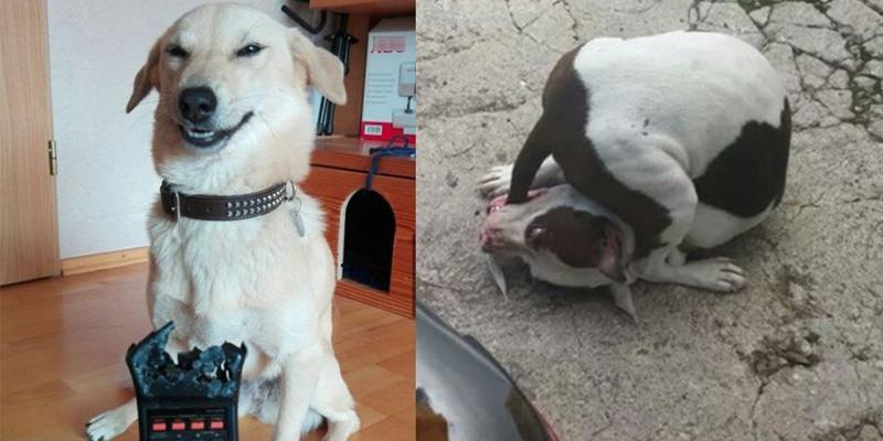 """Chùm ảnh chứng minh chó là loài """"ngố đần"""" nhất hành tinh"""