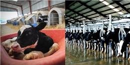 Sự thật rơi nước mắt về cuộc đời bi kịch của một chú bò công nghiệp