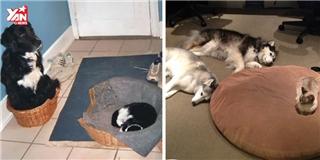 Cười đau bụng trước cảnh chó bị mèo ăn hiếp